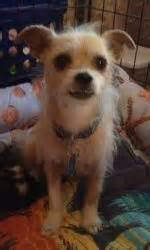 shih tzu puppies fenton mi bootsie is an adoptable terrier yorkie in troy mi bootsie is a two