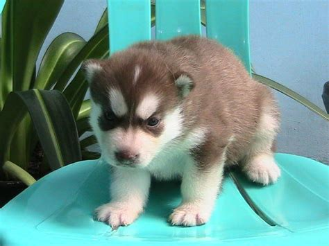 siberian husky puppies for sale in nj akc siberian husky puppies white blue breeds picture