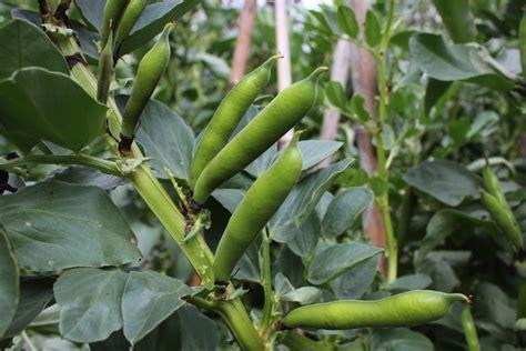 broad beans pod easy edible gardening