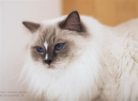 alimentazione ragdoll allevamento gatti ragdoll toscana legendoll
