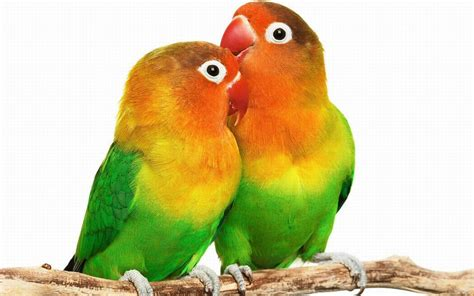 For Lovebird bird wallpaper hd free wallpaper best