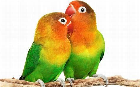 For Lovebird bird wallpaper hd free wallpaper best
