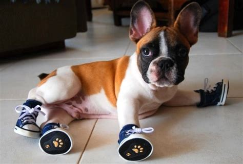 puppy booties dogs wearing shoes on dogs shoes and cat