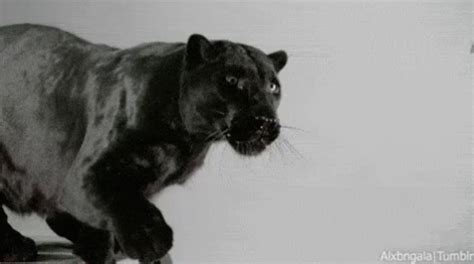 black panther gif black panther claws discover