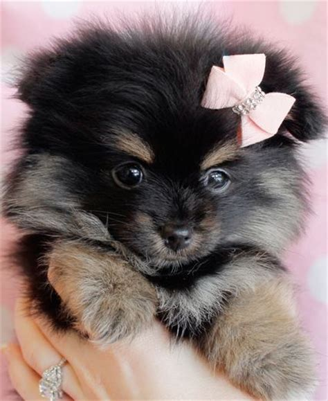 black pomeranian puppies for sale in florida 17 ideas about pomeranian puppies for sale on teacup pomeranian puppy