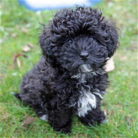 havanese and poodle mix image gallery havanese poodle mix breed