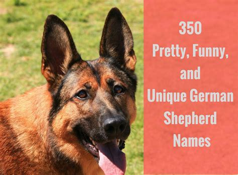 german shepherd names 350 pretty and unique german shepherd names