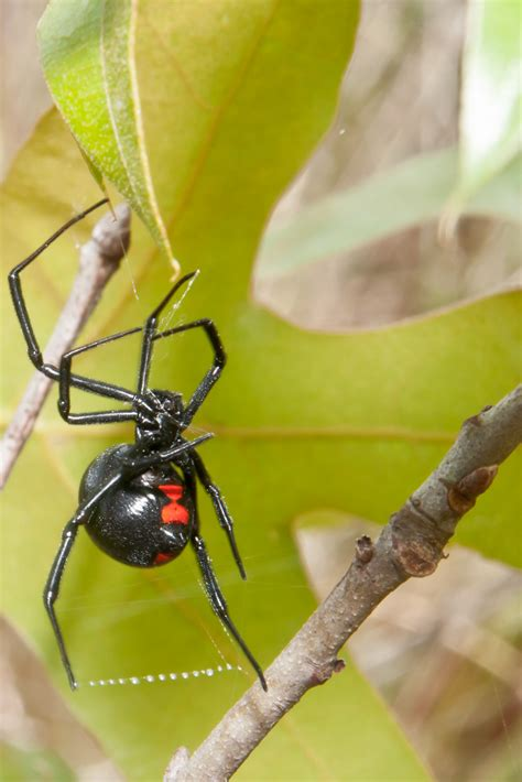 could spider venom be the next viagra daily mail online black widows infest grapes poisonous spiders found