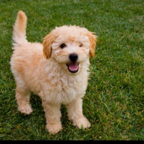doodle puppy types 54 best oodle groodle goldendoodle retrodoodle images