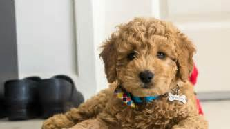mini goldendoodle doodle country mini goldendoodle puppies family raised