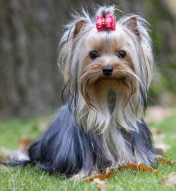 yorkie faq terrier faq frequently asked questions