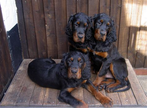 setter dog gordon gordon setter dogs photo and wallpaper beautiful gordon