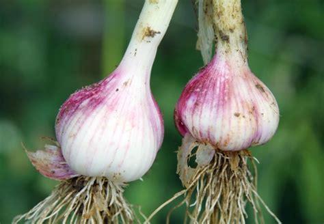 knoblauch pflanzen und ernten 4635 mit obi knoblauch selber pflanzen w 228 chst gut schmeckt