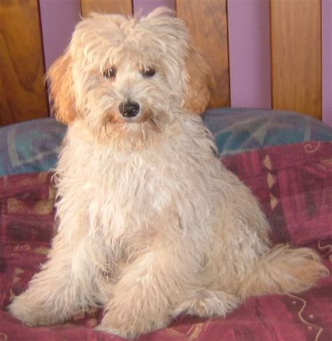 maltese shih tzu x poodle 35 shih tzu cross breeds you to see to believe