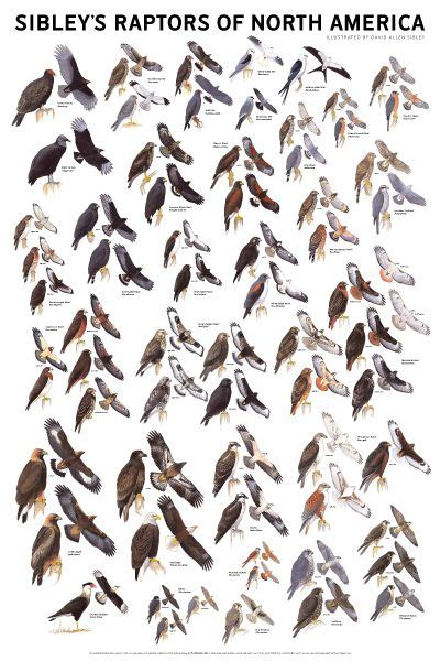 sibley s raptors of western n america foldingguides ebook 78 best images about id charts on pinterest garden