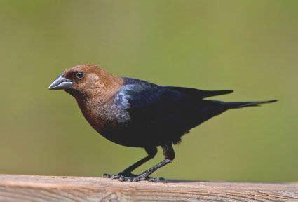 25 best ideas about brown bird on pinterest sparrow