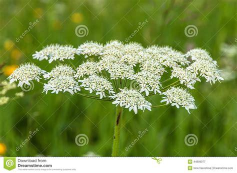 small white flower plant is unbrella like white flower inflorescence umbrella stock photo image