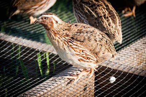 buy live quail for sale in kansas kansas game birds