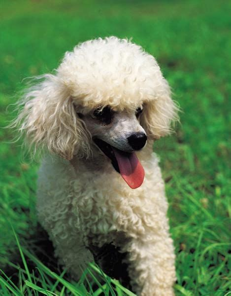 how to groom a matted poodle best 25 mini poodles ideas on mini poodle