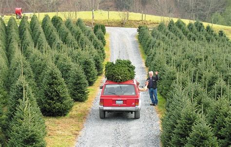 keeping christmas trees fresh serpico landscaping