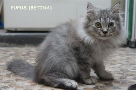 Makanan Anak Kucing Royal Canin Kitten Maine Coon 400gr jual kucing makanan kucing umur 2 bulan jual kucing