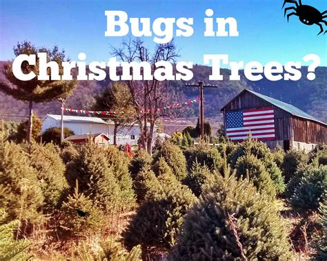 do real christmas trees have bugs winter acre