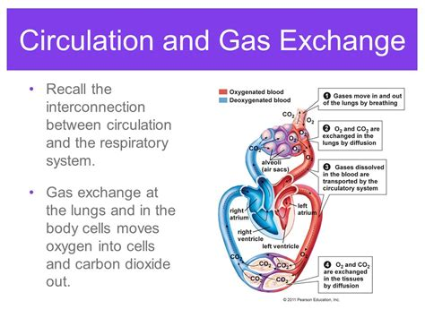 gas exchange ppt video online download respiratory system gas exchange ppt video online download