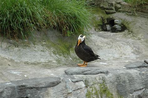 oregon coast aquarium tufted puffin i can show you the