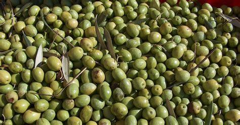 Foto Dan Minyak Zaitun khasiat buah zaitun dan minyak zaitun redzuan ridz
