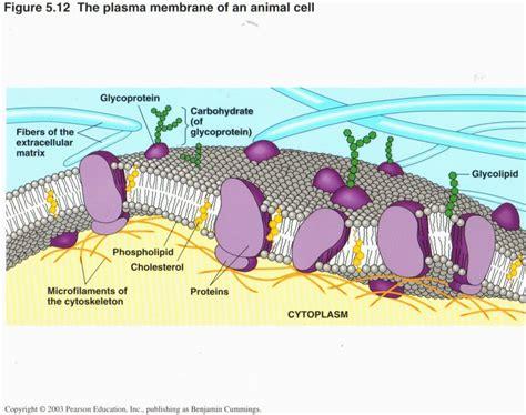 membrane diagram plasma membrane diagram unlabeled www pixshark