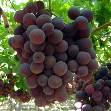 imagenes de uvas frescas uvas frescas para exportacion