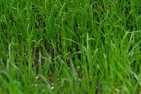 Growing Grass From Seed by Grow A Lawn From Seed Gardenersworld