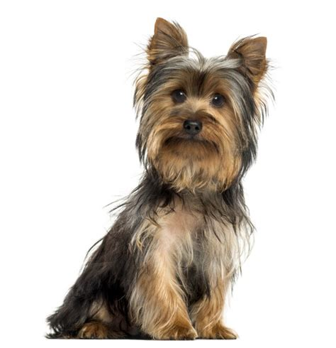 pictures of big yorkies how big do maltese yorkies get cuteness