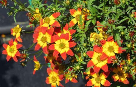 Bidens Pflanze by Crop Culture Report Bidens Beedance Series Greenhouse