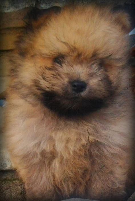 pomeranian teddy the gallery for gt brown teddy pomeranian puppies