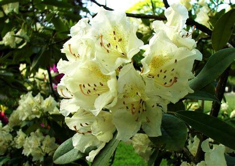 rhododendron schneiden wann und wie rhododendron umpflanzen welche pflanzen passen zu