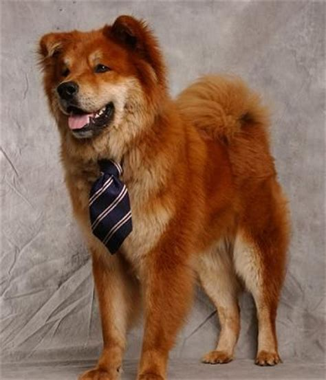 golden retriever chow half chow half golden retriever i must this again one day it was my most