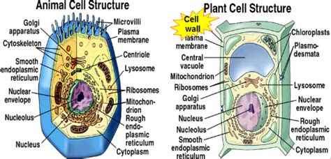 structure of animal cell and plant cell under microscope notes grade seven science