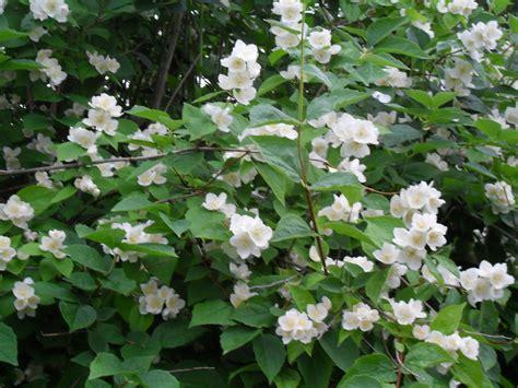 jasmine shrub by solace grace on deviantart