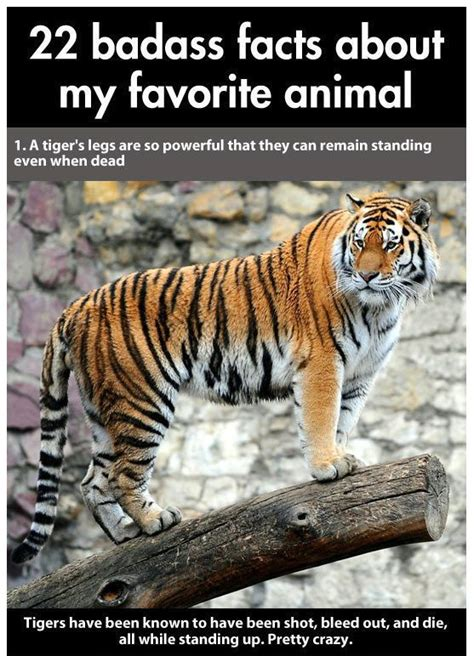 facts about the new year tiger tiger facts 22 fascinating things about the world s
