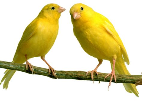 membuat napas kenari panjang jenis burung favorit para pria diskonaja blog