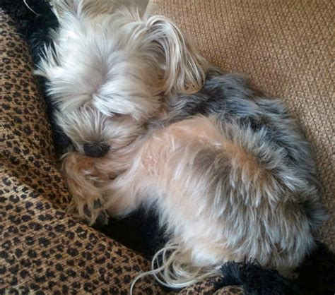 yorkie dotson piper the yorkie mix dogs daily puppy breeds picture