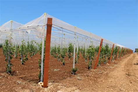 piantare uva da tavola impianto a spalliera uva da tavola confortevole