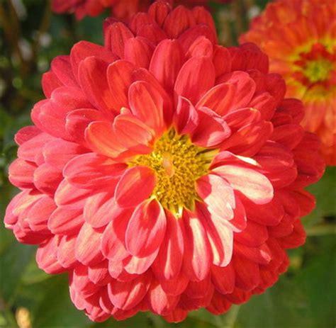 el crisantemo y la leyendas y flores el crisantemo floraqueen