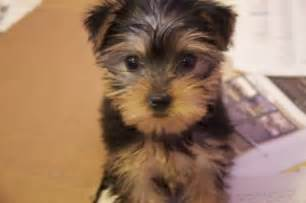 Yorkshire terrier pictures facts and user reviews