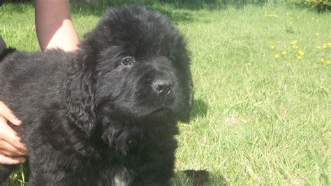 beagador puppies for sale newfoundland lab mix puppies breeds picture
