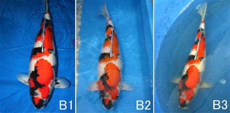 Jual Baby Fish Crispy Kaskus gilakoi perubahan pola dan warna koi kaskus