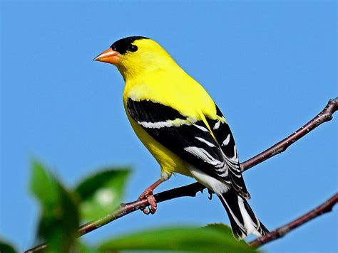 american goldfinch photograph by rodney cbell