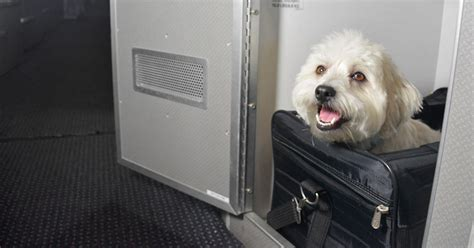 dog   fly    class pet cabin travel