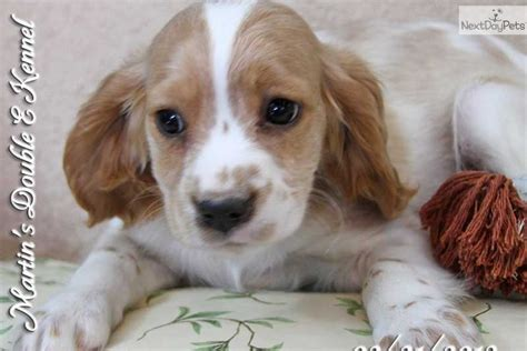 cavanese puppies meet luke a cavanese puppy for sale for 500 luke cavalier cavacoton